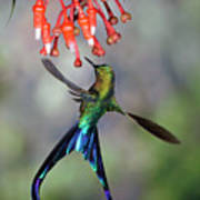 Violet-tailed Sylph Feeding Poster