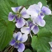 Violets 2 Poster