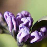 Virginia Bluebell Buds Poster