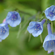 Virginia Bluebells I Poster