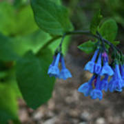 Virginia Bluebells In The Early Morning Poster