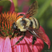Visitor Up Close Coneflower  Poster