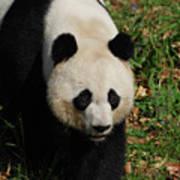 Waddling Giant Panda Bear In A Grass Field Poster