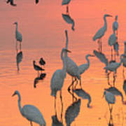 Wading Birds Forage In Colorful Sunset Poster