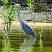 Wading Blue Heron Poster