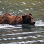 Wading Brown Bear Poster