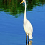 Wading Great White Egret Poster