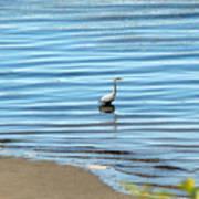 Wading Heron Poster