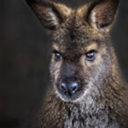 Wallaby Portrait Poster