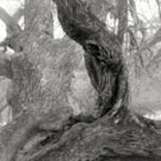 Walnut Tree Detail Poster