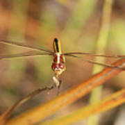 Wandering Glider Dragonfly Poster