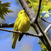 Warbler In Yellow Poster