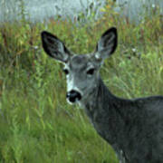 Wary Doe Poster