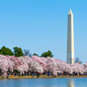 Washington Monument And Cherry Blossoms Poster
