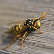 Wasp Close-up Poster