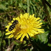 Wasp Visiting Dandelion Poster