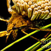 Water Beetle Brooding Eggs Poster