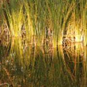 Water Grass In Sunset Poster