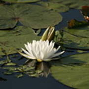 Water Lilies And Pads Poster