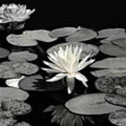 Water Lilies In Black And White Poster
