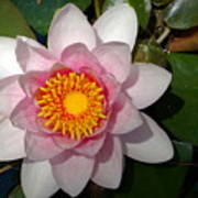 Water Lilly Beauty Poster