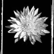 Water Lilly II Poster