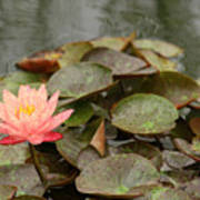 Water Lilly In Summer Poster