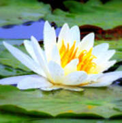 Water Lily - Digital Painting Poster