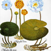 Water Lily, 1613 Poster
