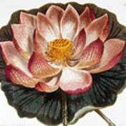 Water Lily, 1806 Poster