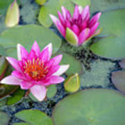 Water Lily #2 Poster
