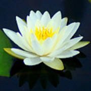 Water Lily 2 Poster