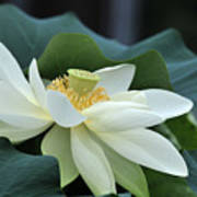 water lily 34 Yellow Lotus I Poster