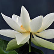 Water Lily 36 Poster