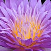 water lily 55 Ultraviolet Poster