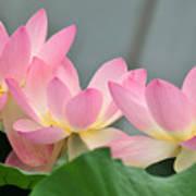 water lily 57 Pink Lotus Poster