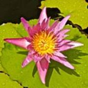 Water Lily After Rain 3 Poster