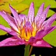 Water Lily After Rain Poster