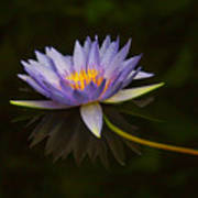 Water Lily Close Up Poster
