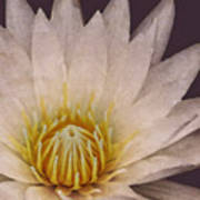 Water Lily Digital Painting Poster