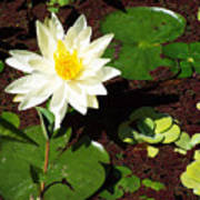 Water Lily From Private Garden Poster