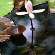 Water Lily I Poster