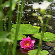 Water Lily In A Pond Poster