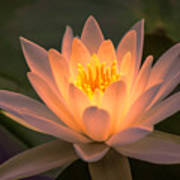 Water Lily Poster