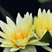 Water Lily Yellow Nymphaea Poster