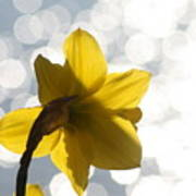 Water Reflected Daffodil Poster