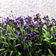 Watercolor Iris  Poster
