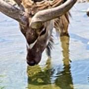 Watering Kudu Poster