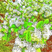 Waxleaf Privet Blooms On A Sunny Day Poster