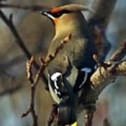 Waxwing On Guard Poster